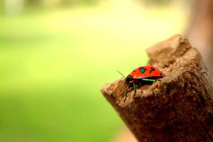 Not Quite a Lady Bug